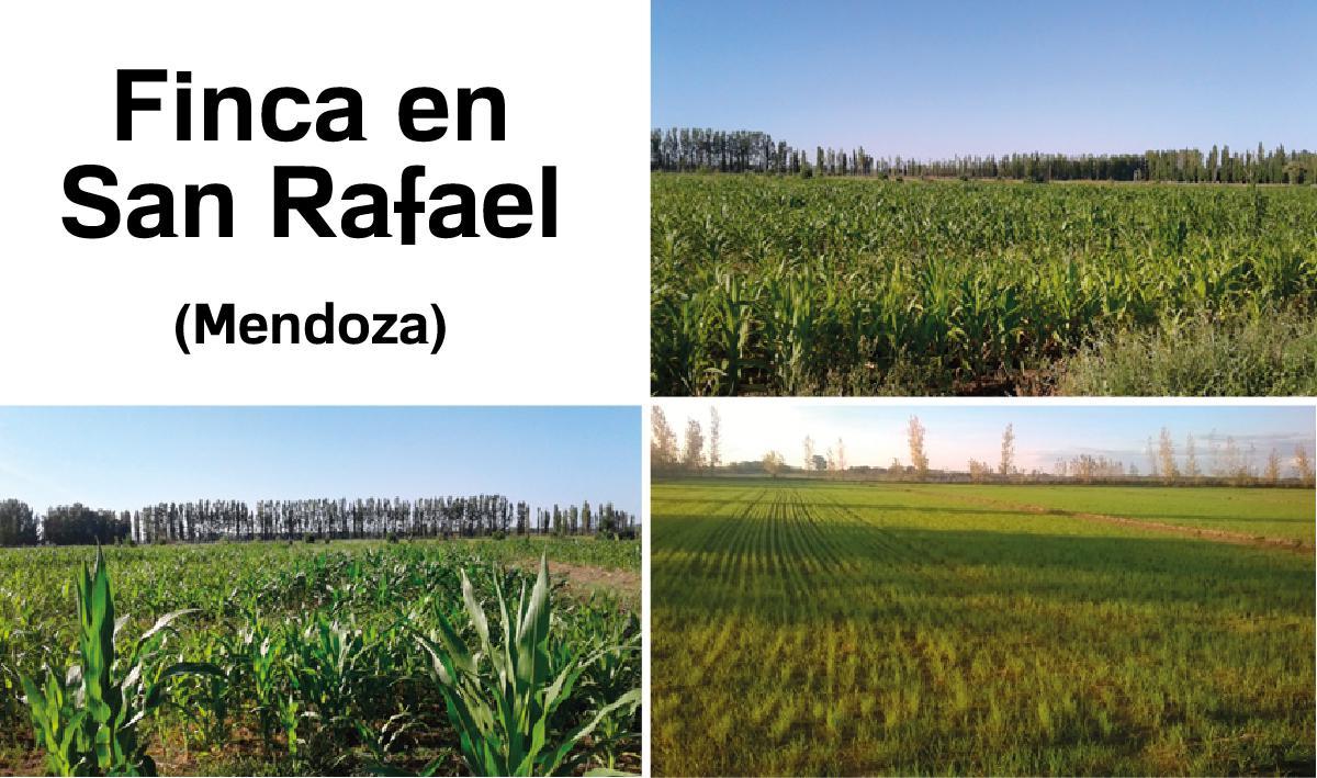 Foto Fincas en Venta en  San Rafael ,  Mendoza  Finca en San Rafael - Mendoza